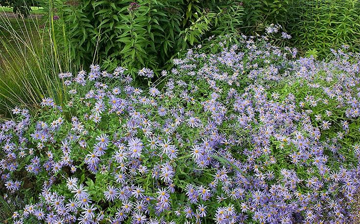 Die Aster ist eine Gute-Laune-Pflanze fürs herbstliche Beet
