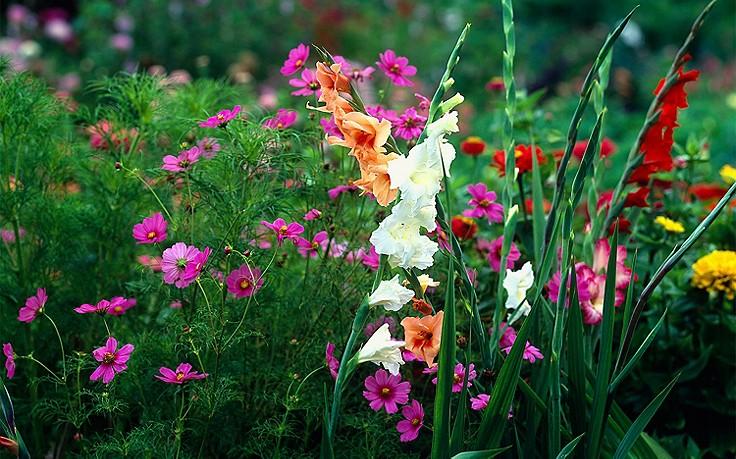 Die Garten-Gladiole blüht nur zwei Wochen, entfacht aber ein Farbfeuerwerk