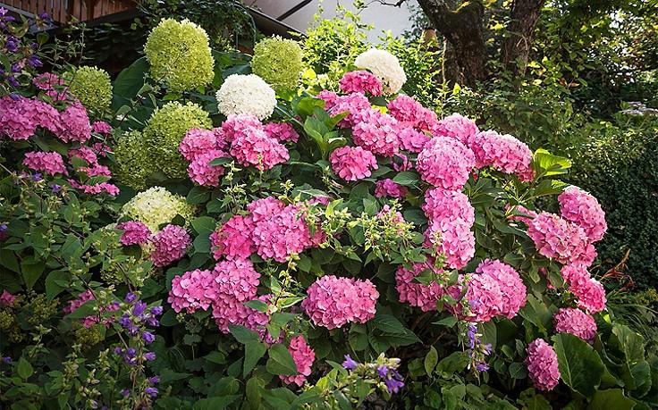 Wie Sie Hortensien zum Blühen bringen