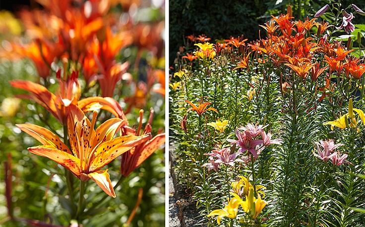 Lilie: die Duftkönigin im Garten