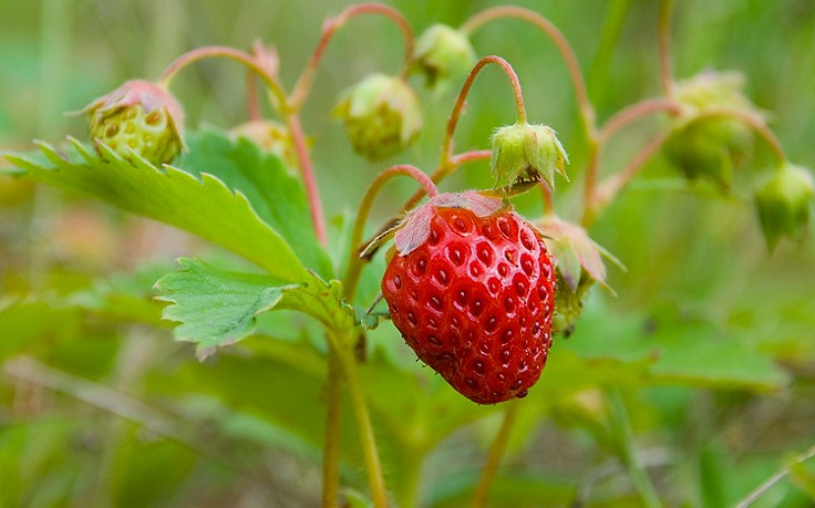 k fers gartentipps erdbeeren im sp tsommer pflanzen bringt reiche ernte. Black Bedroom Furniture Sets. Home Design Ideas