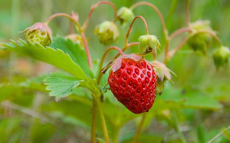 warum sie jetzt erdbeeren pflanzen sollten. Black Bedroom Furniture Sets. Home Design Ideas