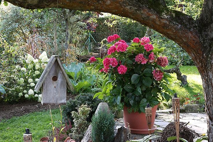 Hortensien im Garten.
