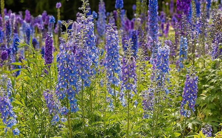 Gartenrittersporn: Wie man die blauen Blüten zweimal zum Leben erweckt