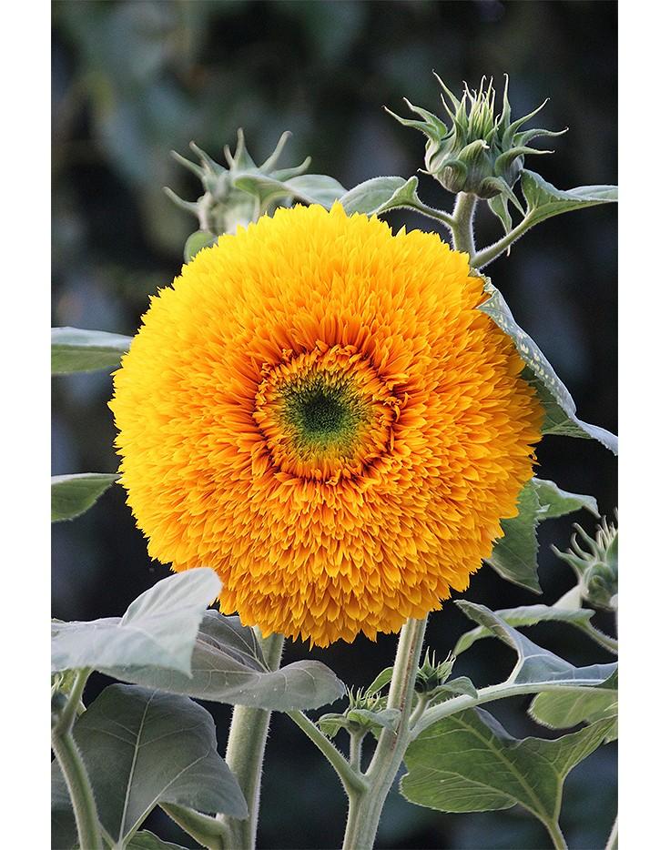 warum die sonnenblume ein kleines wunderwerk der natur ist. Black Bedroom Furniture Sets. Home Design Ideas