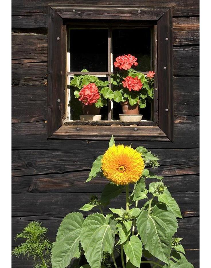 Warum die Sonnenblume ein kleines Wunderwerk der Natur ist