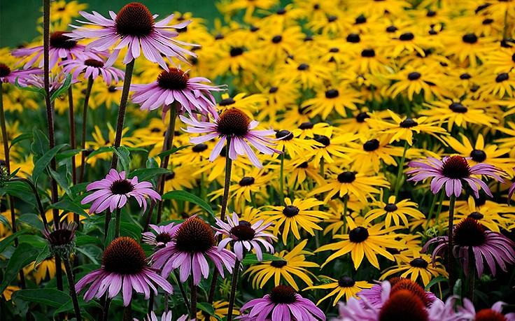 Sonnenhut: lange Blütenpracht im Staudenbeet
