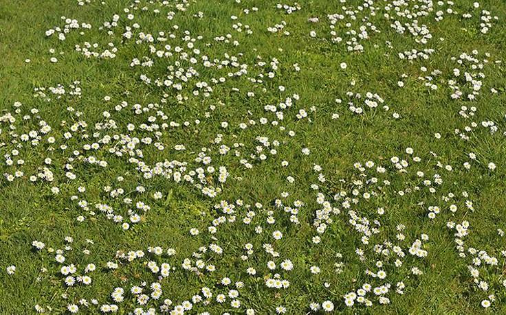 Das Gänseblümchen ist ein milder Heiler
