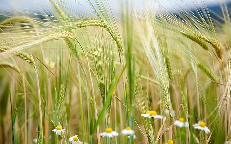 Bauernregeln für den Juni