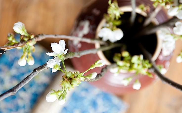 Wie man jetzt Zweige daheim zum Blühen bringt