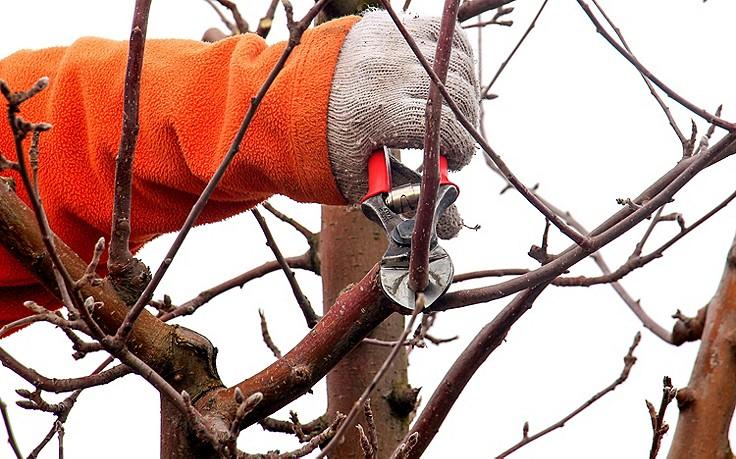 Jänner-Gartentipp Nr. 4: Winterschnitt der Apfelbäume