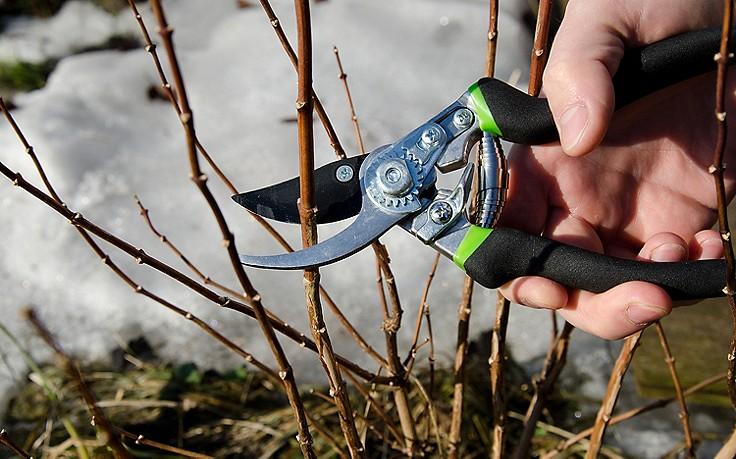 Februar-Gartentipp: Sträucher stutzen und verjüngen