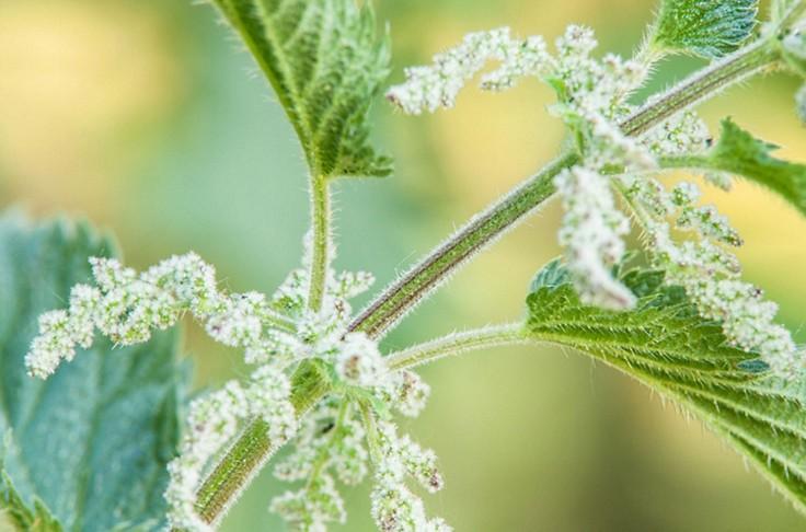 Die Brennnessel: So viel Kraft steckt in der Pflanze
