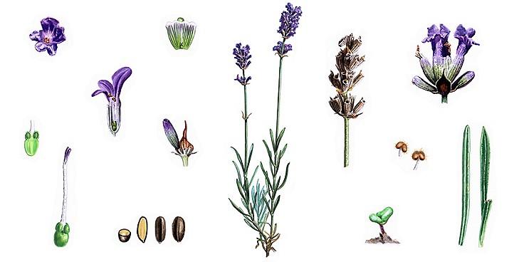 Lavendel sorgt für Entspannung und guten Schlaf