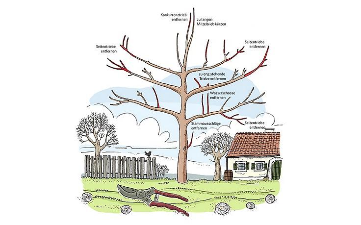 Der richtige Schnitt von Obstbäumen