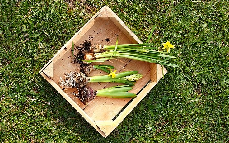 Juni-Gartentipp Nr. 1: Zwiebelblumen schlau vermehren