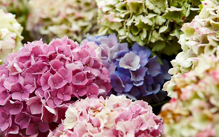 Juni-Gartentipp Nr. 2: Hortensien für Strauß und Gesteck schneiden