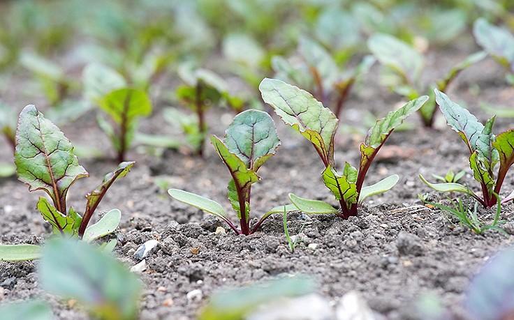 Juni-Gartentipp Nr. 4: Rote Rüben setzen