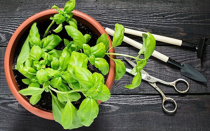 Juli-Gartentipp Nr. 3: Basilikum richtig ernten