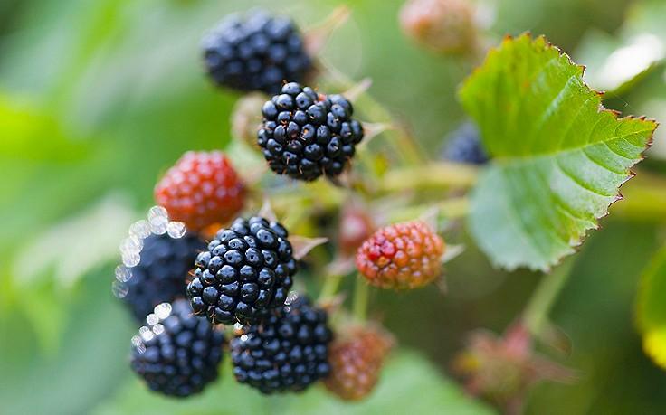 Juli-Gartentipp Nr. 4: Beerensträucher auslichten