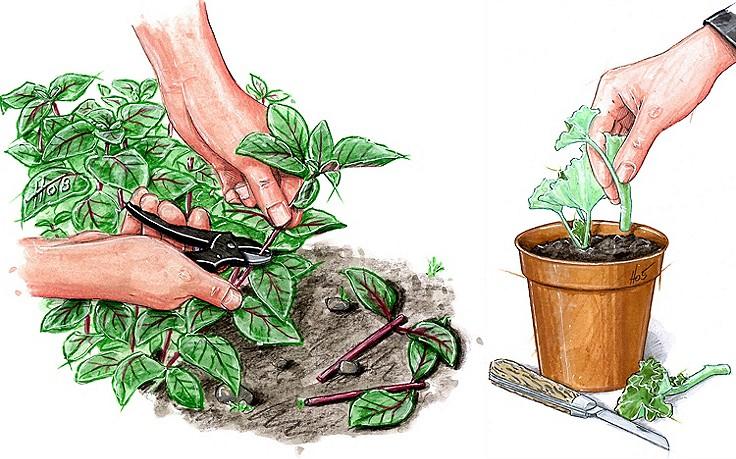 Pflanzen vermehren mit Stecklingen