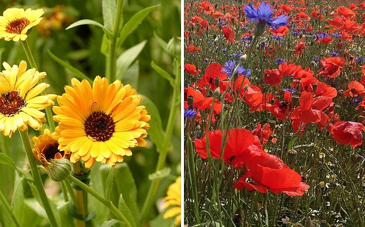 Ringelblume und Mohn im Bauerngarten