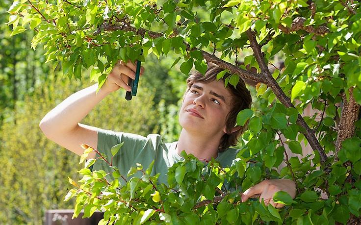 Sommerschnitt bei Marillenbäumen