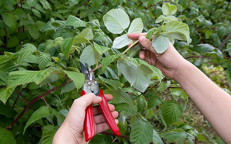 Der richtige Schnitt für reiche Ernte bei Beeren