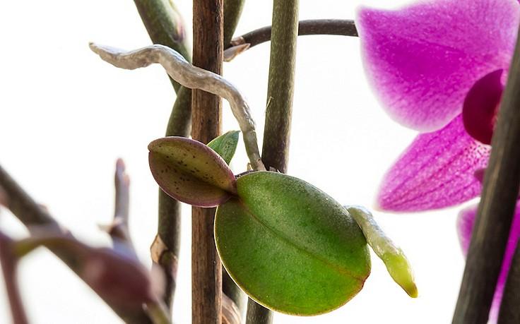 Orchidee-Kindel