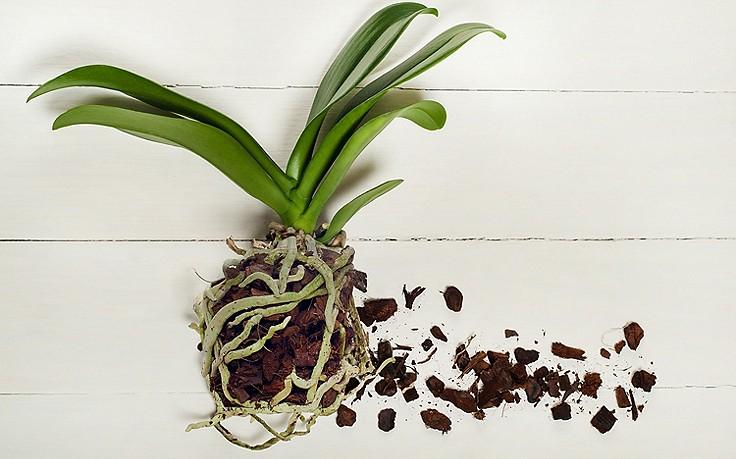 Orchidee einpflanzen