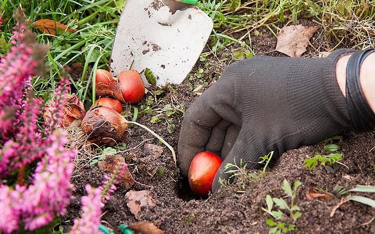Zwiebeln in den Boden bringen