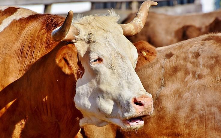 Nach Stier-Attacke: Not-OP rettete Landwirt das Leben