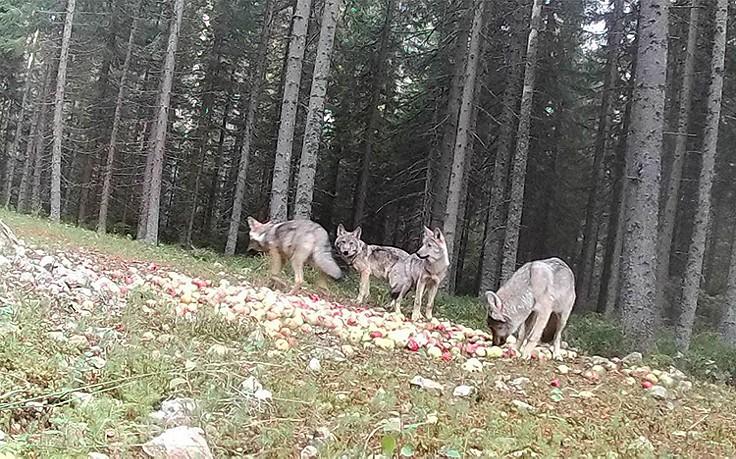 Fotos bestätigen: Neues Wolfsrudel in Österreich