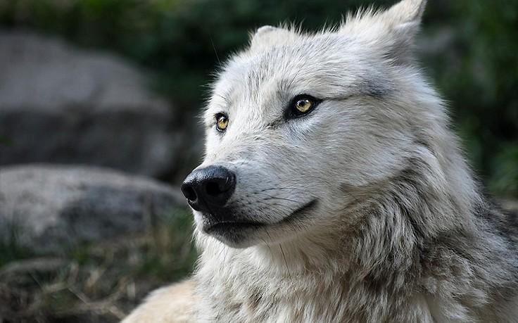 Mühlviertel: Mit Gummi-Geschossen gegen den Wolf