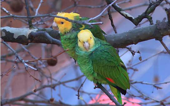 Stadt-Papageien fern der Heimat