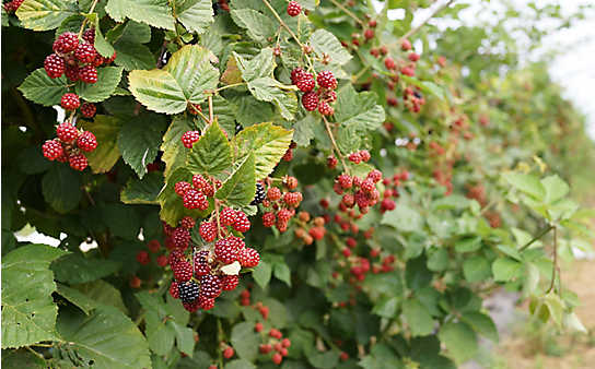 Beerensträucher: Rückschnitt im November