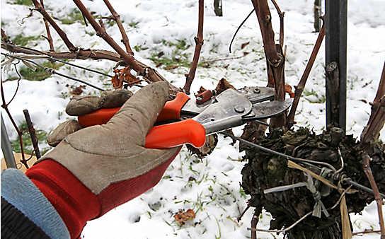 So gelingt der Winterschnitt der Weinreben