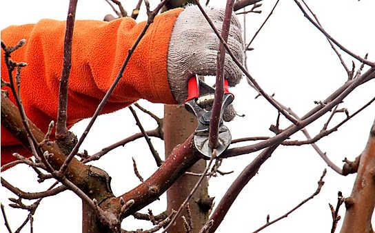 So gelingt der Winterschnitt von Apfelbäumen