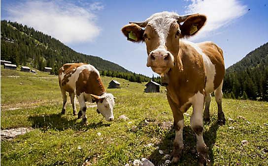 So vermeidet man einen Kuh-Angriff beim Wandern
