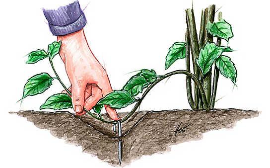 Pflanzen vermehren durch Absenker und Ableger