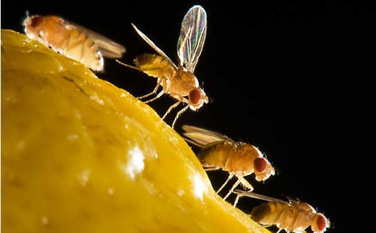 Einfache Tricks gegen Fruchtfliegen