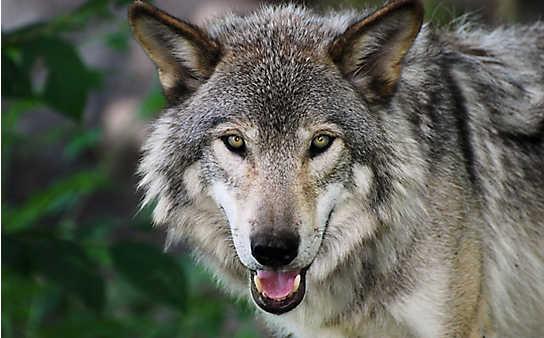Wölfe in Österreich: So profitieren wir vom Wildtier