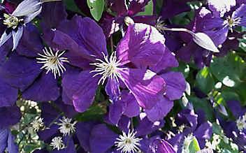 Die Clematis: Blütenpracht, die hoch hinaus will