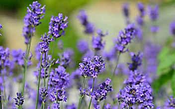 Betörender Lavendel: der Duft des Sommers