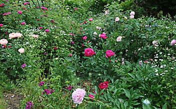 Käfers Gartentipps: Stauden und Rosen - eine perfekte Kombination
