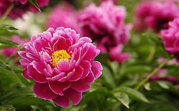 Pfingstrose: ein prächtiger Blickfang für den Garten