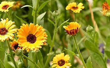 Ringelblume: orangefarbene Blüten mit Heil- und Abwehrkraft