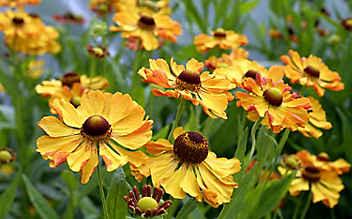 Die Sonnenbraut: kräftige Blütenpracht bis in den Herbst