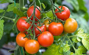 Käfers Gartentipps: Tomaten richtig pflegen