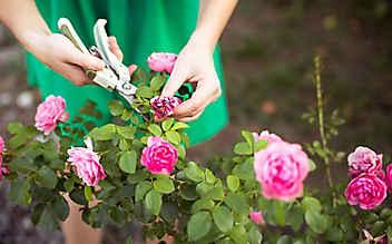 Letzte Aufgaben im Rosenbeet vor dem Winter